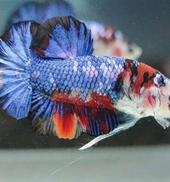 Cara Ternak Ikan Cupang Koi
